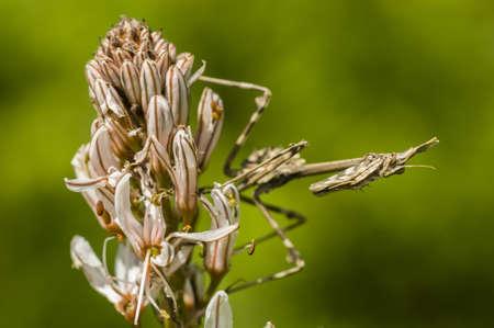 pennata: Mediterranean conehead mantis insect, Empusa pennata