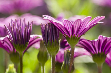 Purple daisy flowers in full bloom under the sun photo