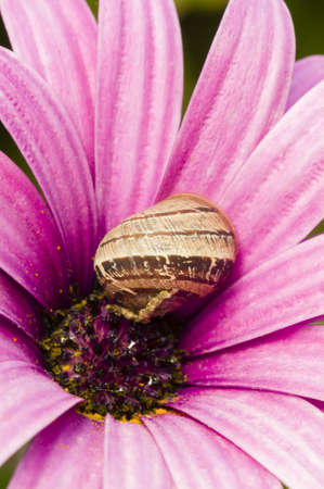 Ground snail on a Purple daisy flower in full bloom Stock Photo - 19152428