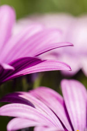Purple daisy flowers in full bloom under the sun Stock Photo - 19152233