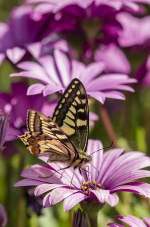 macaone: Swallowtail butterfly sucking nectar from purple daisy flowers