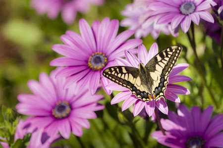 Swallowtail butterfly sucking nectar from purple daisy flowers