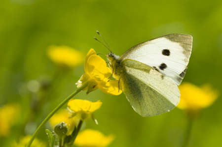 pieridae: Large white butterfly on yellow flower in backlight