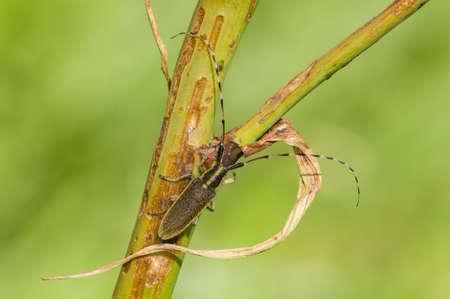 Common longhorn beetle on twig, Cerambix photo