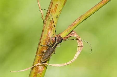longhorn beetle: Common longhorn beetle on twig, Cerambix
