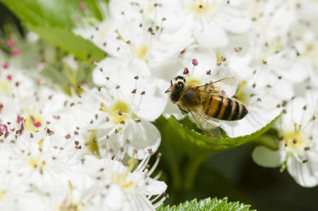 Bee on flowers of Crataegus monogyna, common hawthorn photo
