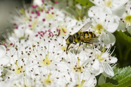 crata�gus: Hoverfly, syrphid mosca, en las flores de Crataegus monogyna, majuelo Foto de archivo