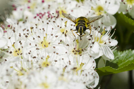 crataegus: Hoverfly, syrphid fly, on flowers of Crataegus monogyna, common hawthorn