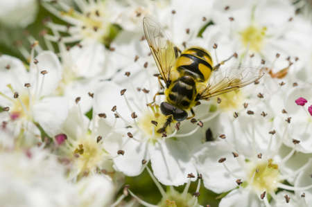 Hoverfly, syrphid fly, on flowers of Crataegus monogyna, common hawthorn photo