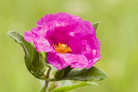 Pink Rock-rose flowers with rain drops