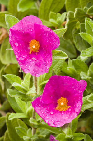 Pink Rock-rose flowers with rain drops Imagens - 19556394