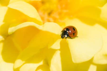 septempunctata: ladybug, ladybird, on yellow ornamental rose, Adalia septempunctata