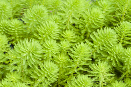 milfoil: Myriophyllum, watermilfoil, freshwater aquatic plants.