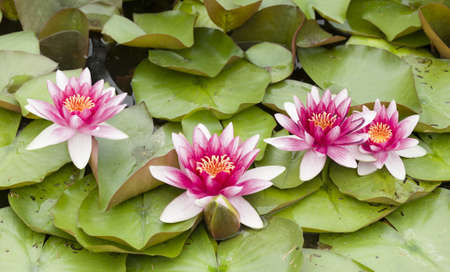 Water lily flowers with green leaves on pond surface Stock Photo
