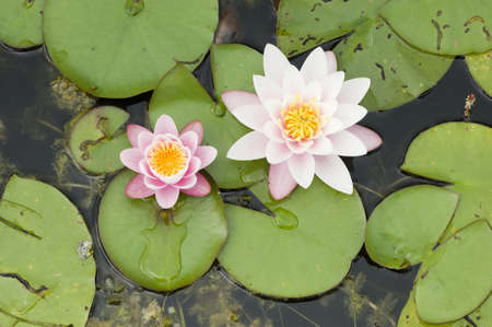 lilypad: Water lily flowers with green leaves on pond surface Stock Photo