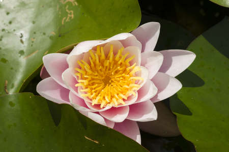 Water lily flowers with green leaves on pond surface Stock Photo - 20506355