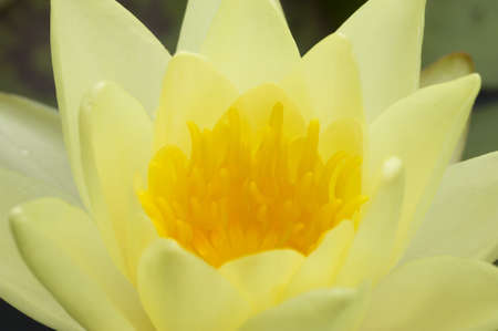 nymphaea: Water lily flowers with green leaves on pond surface Stock Photo