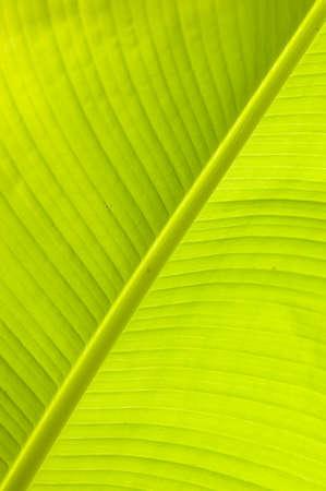 Banana leaf detail in backlight sun photo