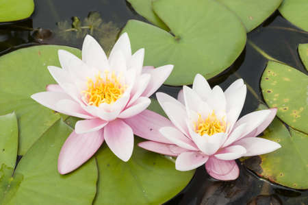 Water lily flowers with green leaves on pond surface Stock Photo - 20506402