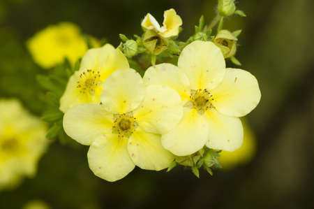 Potentilla fruticosa yellow flowers close up photo