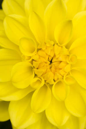 Detail of Dahlia yellow flower