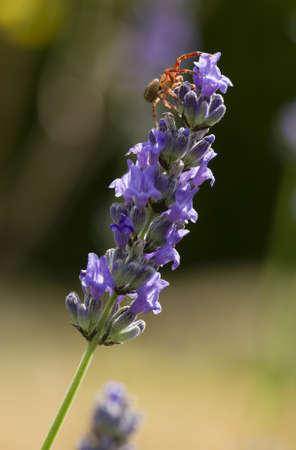 flower crab spider: Crab spider on lavender flower