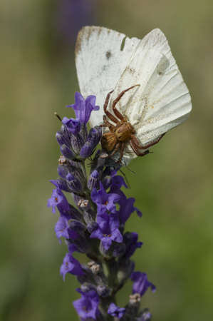 flower crab spider: Crab spider on lavender flower caatching a large white butterfly