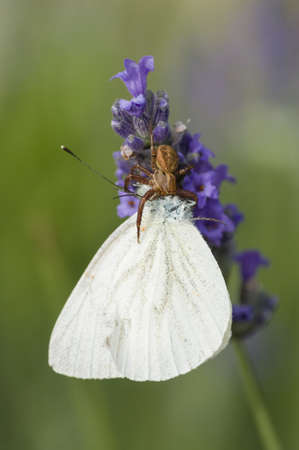 crabspider: Crab spider on lavender flower caatching a large white butterfly