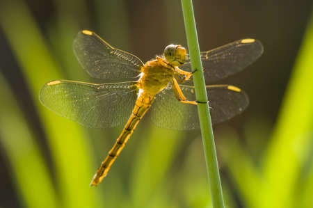 roost: Yellow Dragonfly perched on a stick under the sun