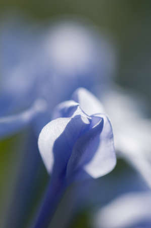 auriculata: Flower bud of Plumbago auriculata in backlight
