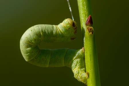 Green Geometridae caterpillar on plant stick photo