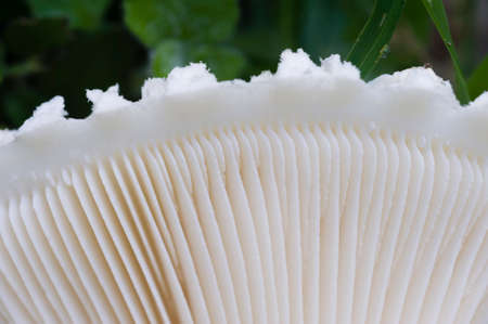 gills: White lepidella mushroom, Amanita vittadinii, detail of gills