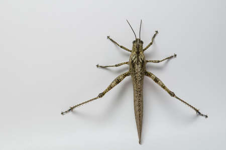 Isolated short-horned grasshopper, locust, on white background photo