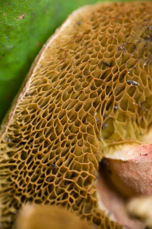 gills: Sponge like gills under mushroom cap