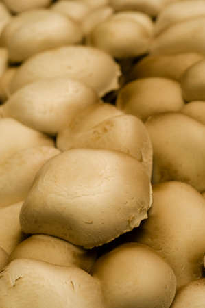 Artificial cultivation of edible white mushrooms Stock Photo - 24095242