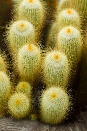 cactus species: Parodia leninghausii es una especie de cactus Sudamericana, Lemon Ball, Golden Ball, cactus torre amarilla. Foto de archivo