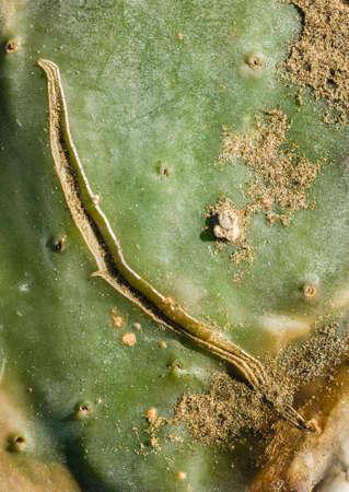 opuntia: Scar on Opuntia succulent plant leaf