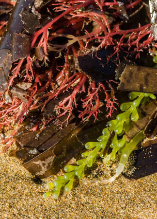 alga: Alga of different colors on sandy beach Stock Photo