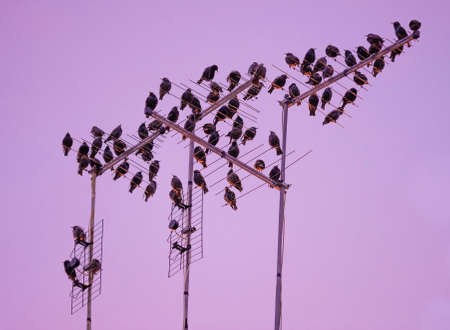 congregate: Starling bird flock flying and perching in urban environment