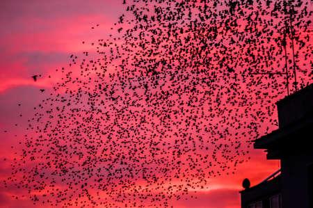 Starling bird flock flying and perching in urban environment Imagens - 24761382