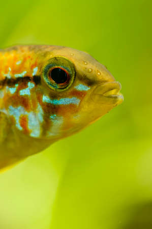 Detail of head of Apistogramma tropical male fish