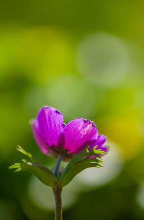 anemone flower: Fiore Anemone viola su sfondo verde in controluce Archivio Fotografico