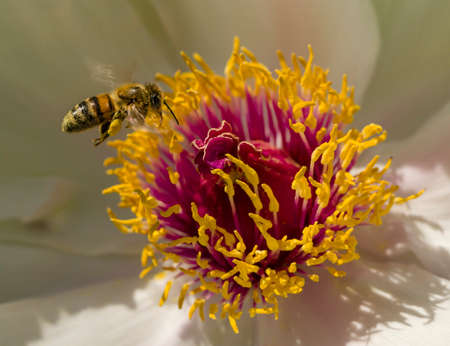 Bee landing on peony flower in full bloom photo