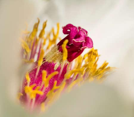 Peony flower details in full Spring bloom photo