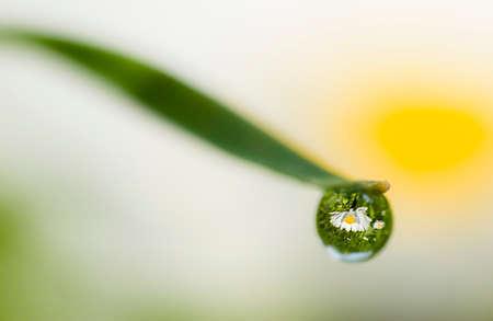 Daisy reflexión sobre gota de rocío en la punta de balde verde de la hierba