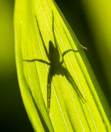 arachnidae: Spider shadow on green leaf in sun backlight Stock Photo