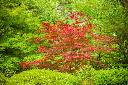 Red leaf Maple tree in a green wood Stock Photo - 28366370