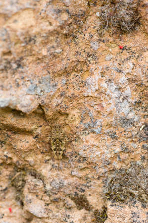 mimetism: Small grasshopper in camouflage with a rock texture Stock Photo