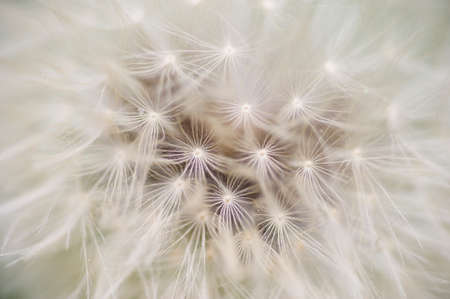 dispersion: Dandelion seed cap ready to fly away, Taraxacum officinalis Stock Photo