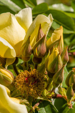 yeloow: Rose flowers and buds in full bloom in May Stock Photo